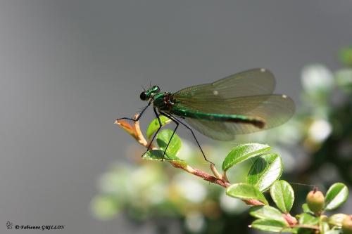 Calopteryx_2362.JPG