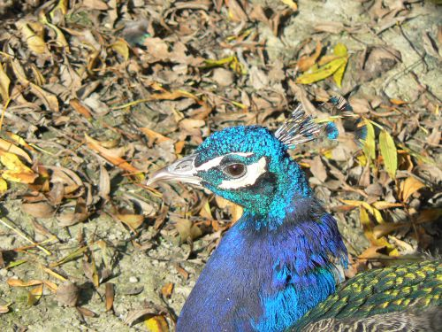 Tête de paon bleu