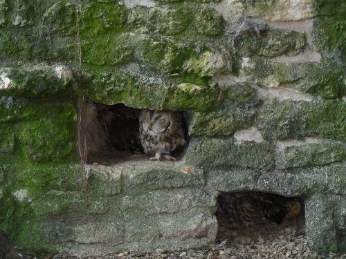 Deux chouettes chevêches s'abritant dans les anfractuosités d'un mur