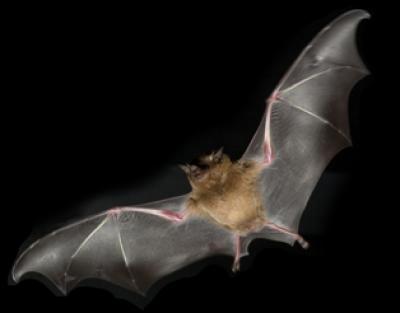 halloween batman chauve souris