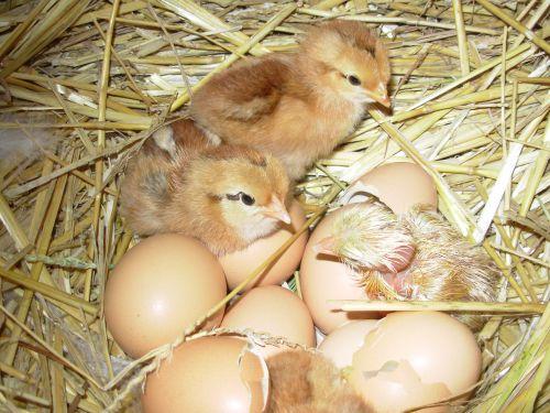 Aujourd'hui, naissances de petits poussins
