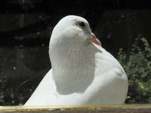 Une blanche colombe