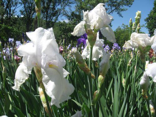 Iris - St-Michel-de Cuxa