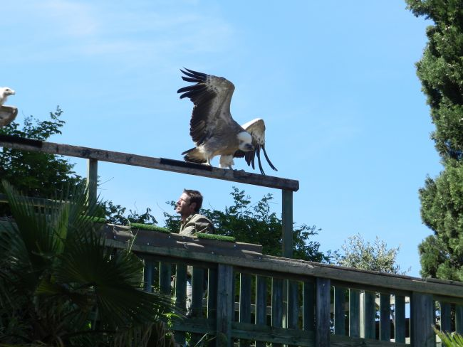 Valmy - Vautour fauve avec ailes éployées