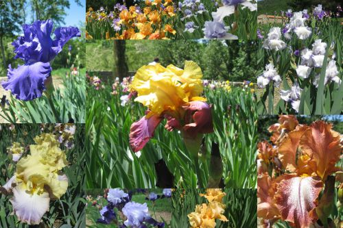 Iris - St-Michel de Cuxa