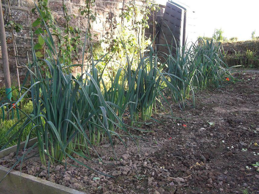Repiquer les poireaux les jardins de l 39 ouest le blog de la famille - Plants de poireaux a repiquer ...
