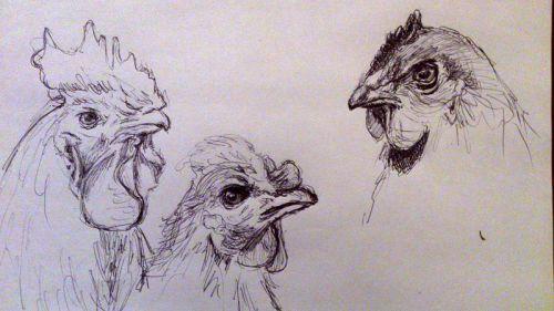 Etude de poules 29/11/2013