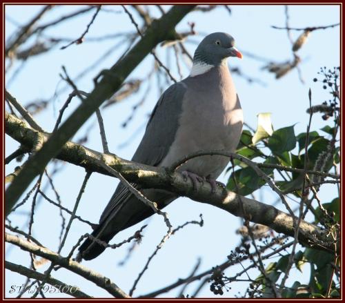 pigeon-ramier-ab.jpg