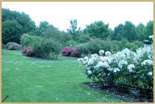 L1090497 rose.jpg