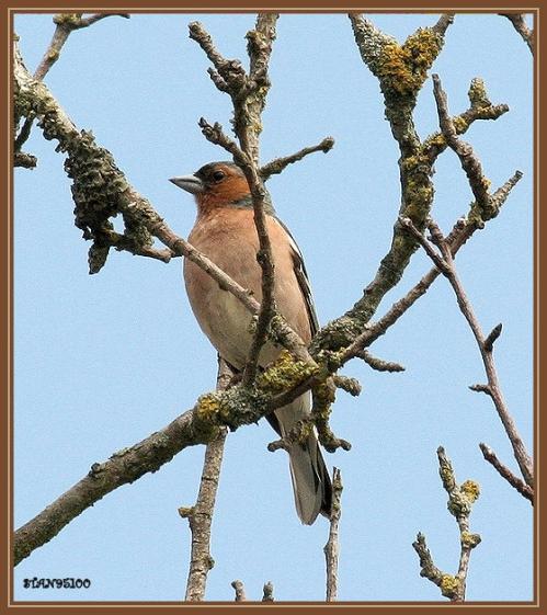 pinson-des-arbres-male2.jpg