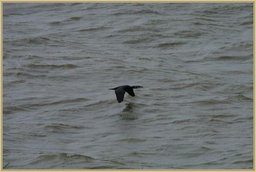 272Q0615 cormoran.jpg