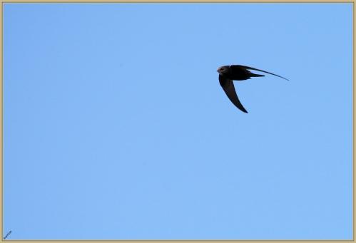 272Q5097 Martinet noir.jpg
