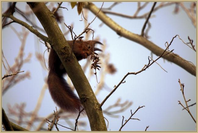 Ecureuil roux.jpg