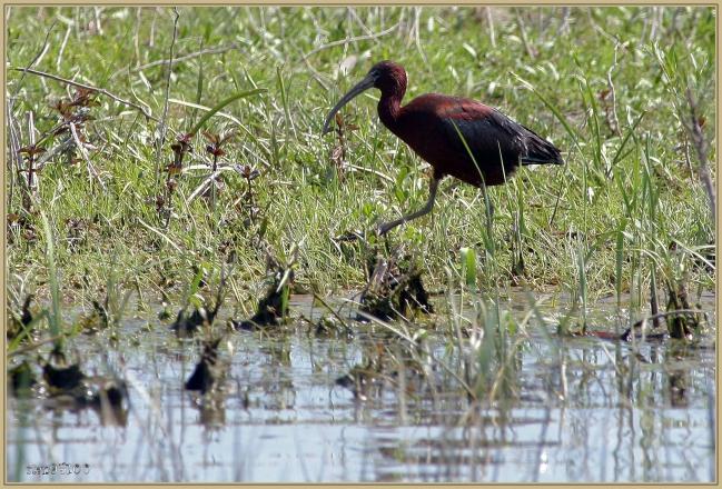 ibis-falcinelle-danube-272Q1766.jpg