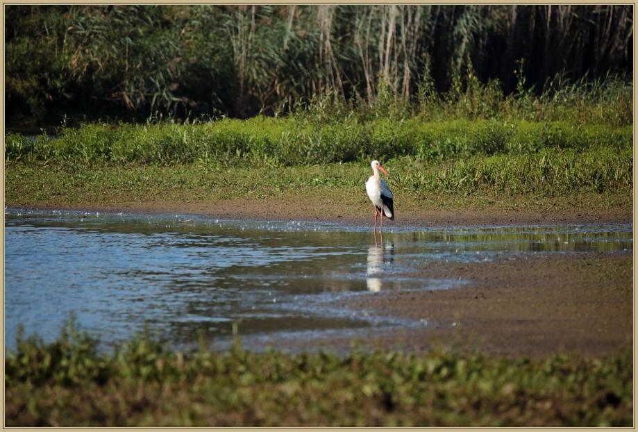 UE8A9204 cigogne blanche.jpg