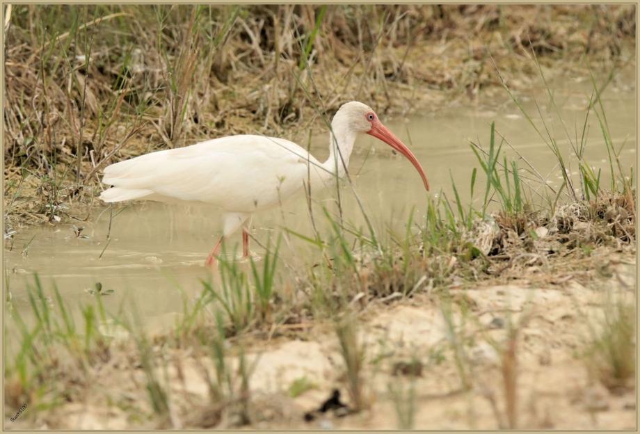 UE8A0621 Ibis blanc adulte.jpg
