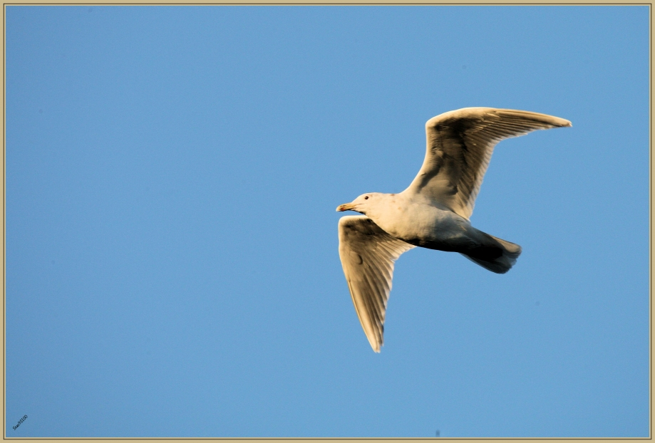 272Q3368 Goéland à aile grises.jpg