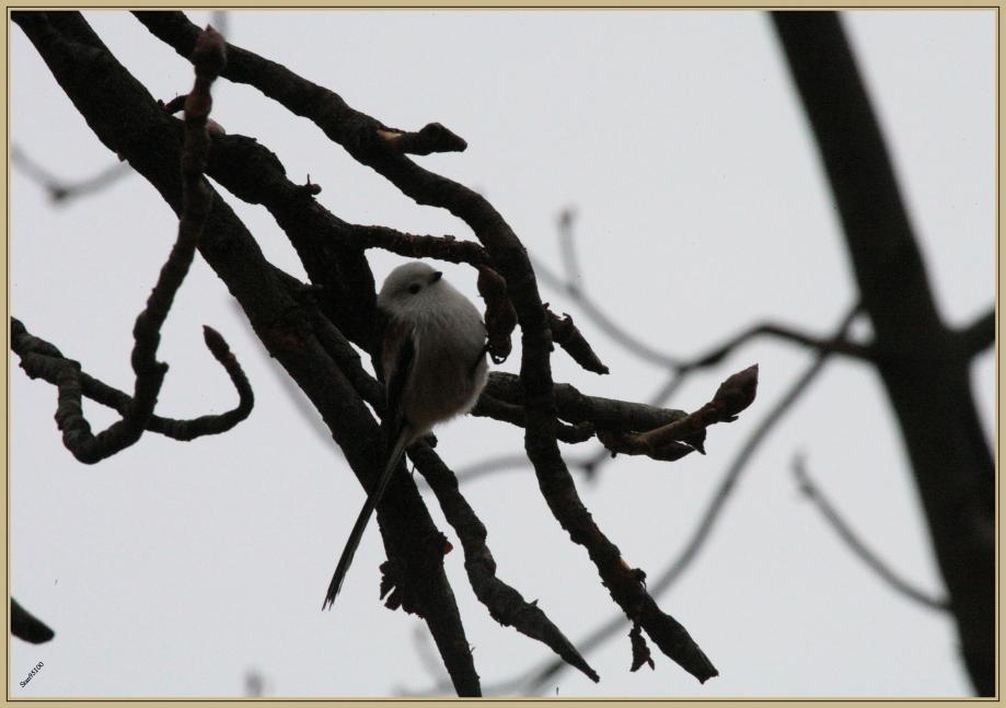 272Q9203 Longue queue à tête blanche.jpg