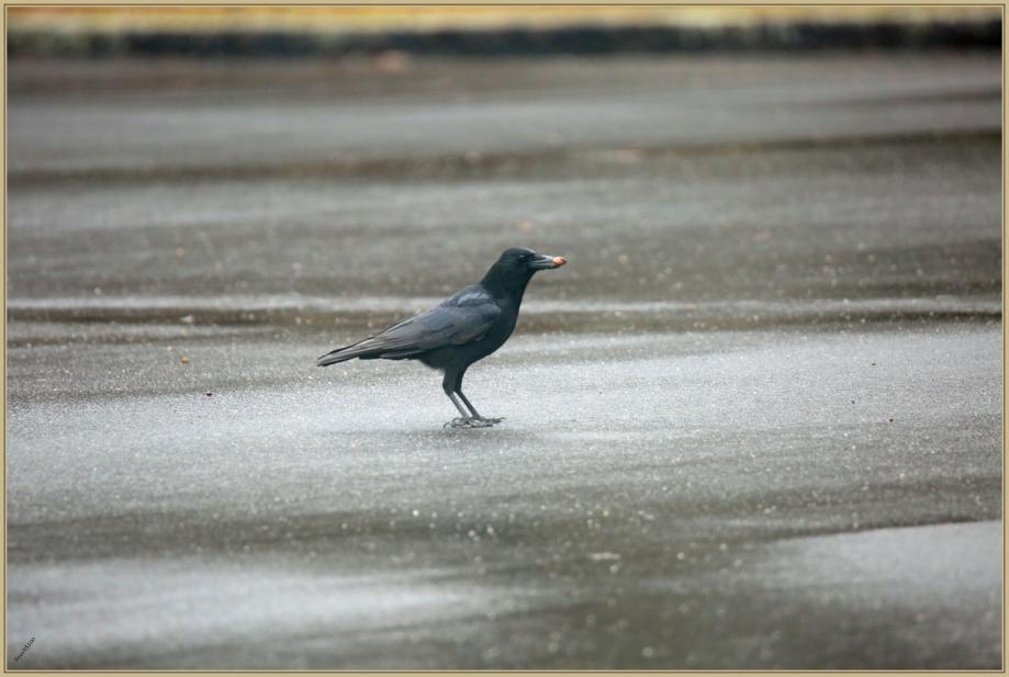 UE8A3901 corneille noire.jpg