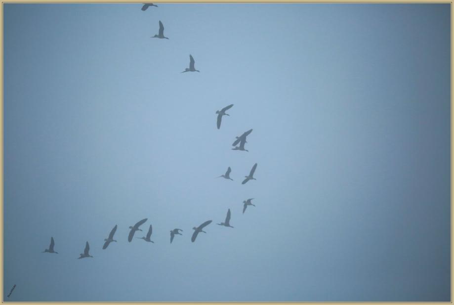 UE8A3359 oies en vol.jpg