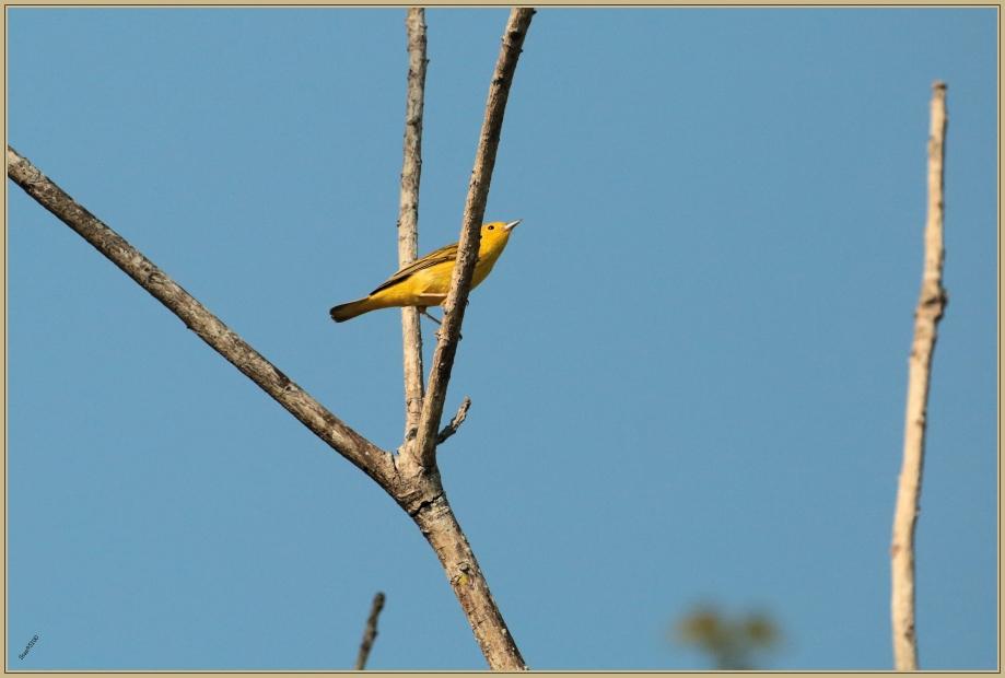 UE8A7383 Paruline jaune.jpg