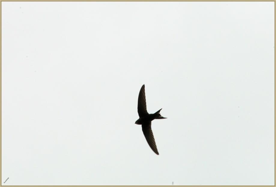 272Q4364 Martinet noir.jpg