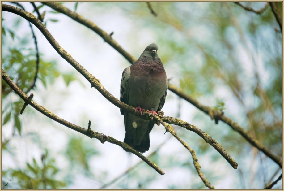 UE8A1603 Pigeon biset.jpg