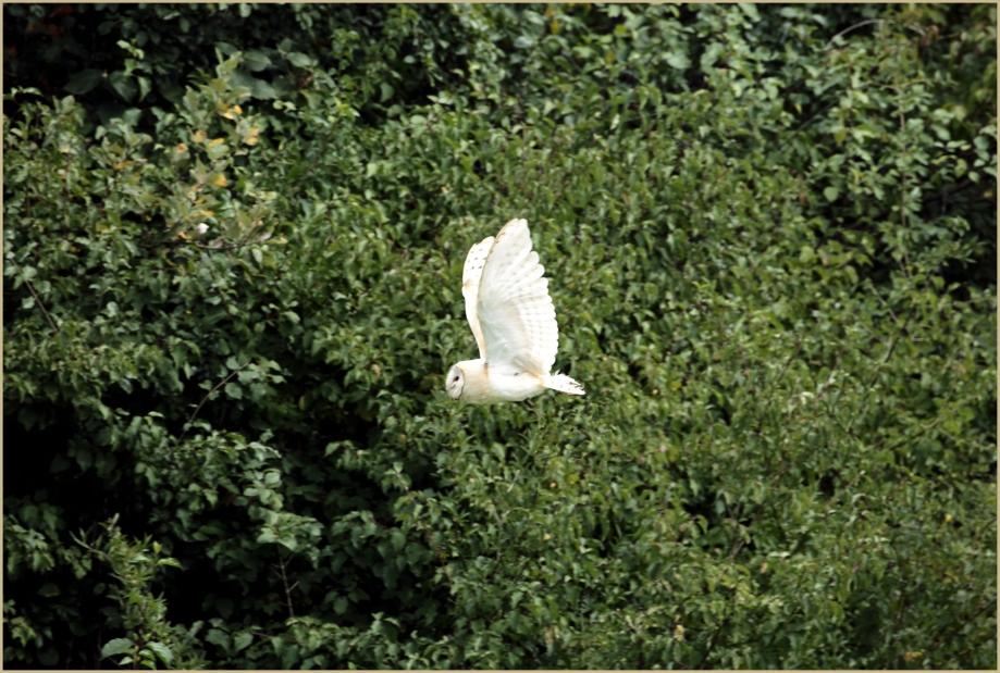 UE8A6559 Effraie des clôchers.jpg