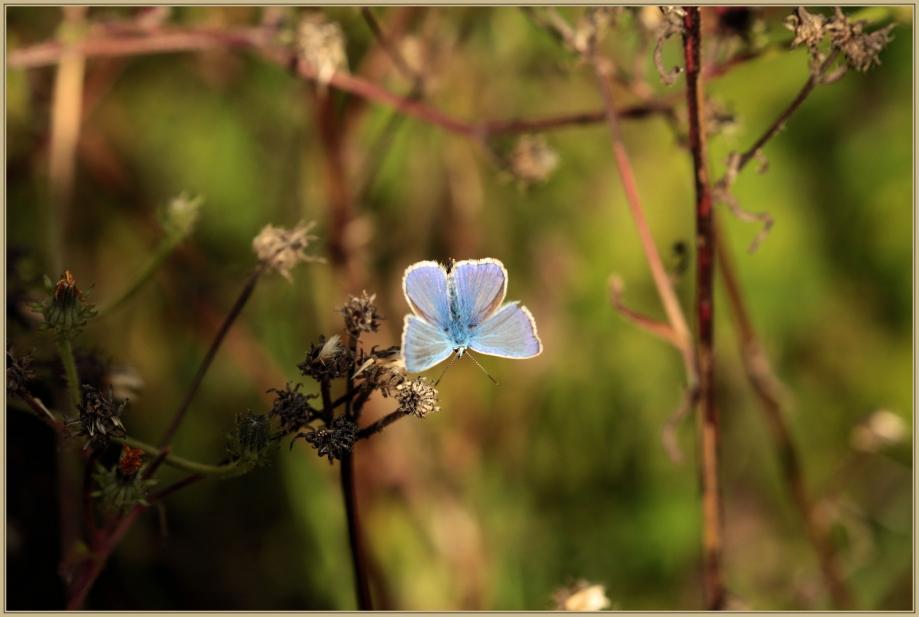 UE8A6965 Papillon bleu.jpg