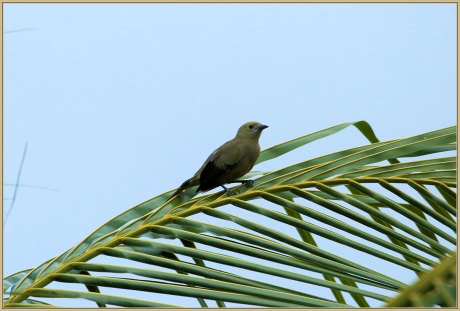 UE8A2416 Tangara des palmiers.jpg