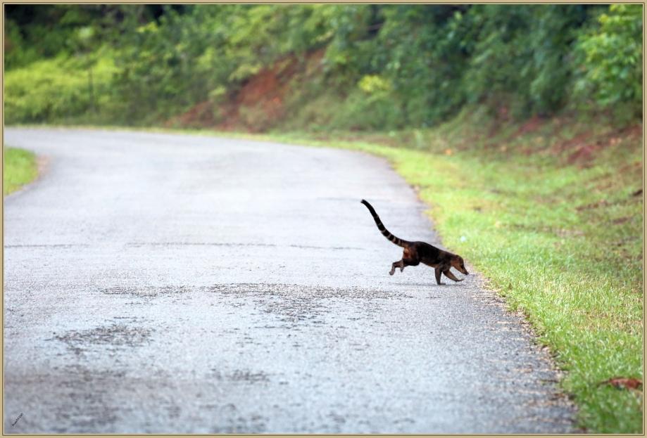 UE8A2618 Coati mâle.jpg