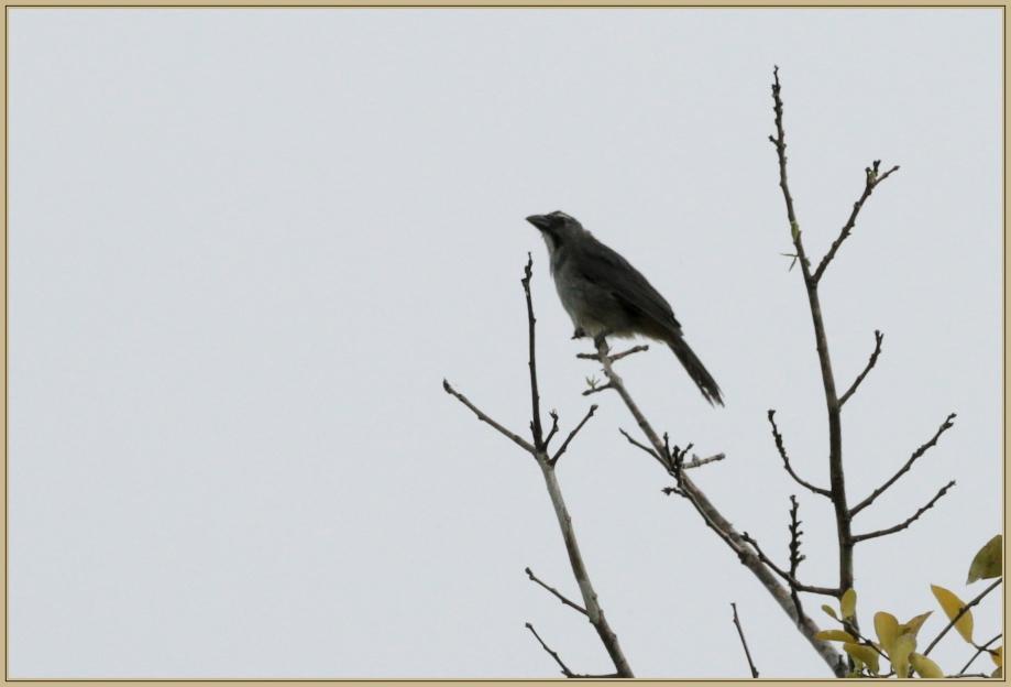 UE8A4116 Saltator gris.jpg