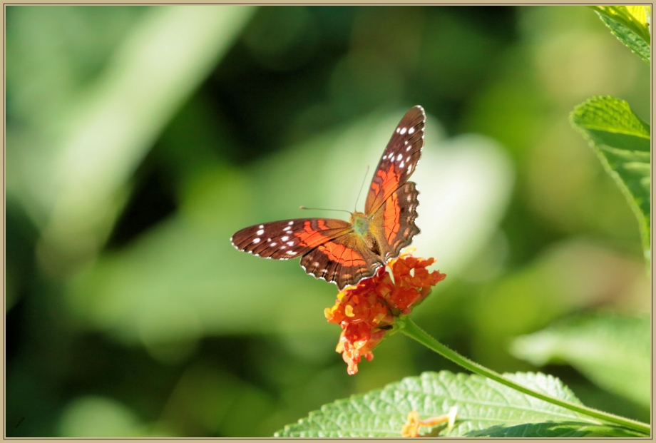 UE8A2910 Papillon.jpg