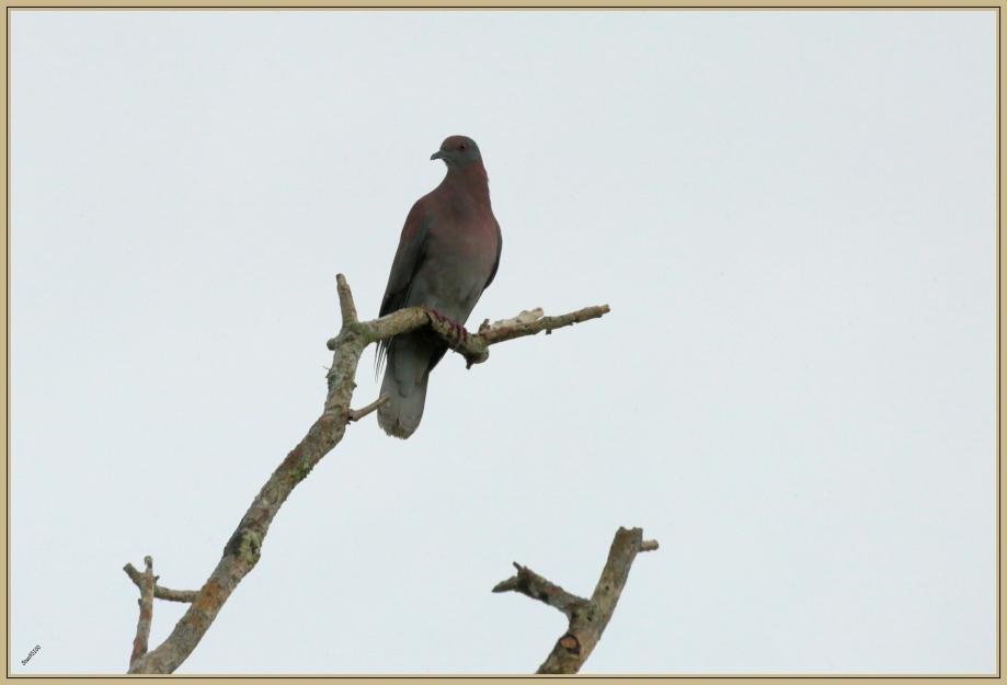 UE8A4048 Pigeon rousset.jpg