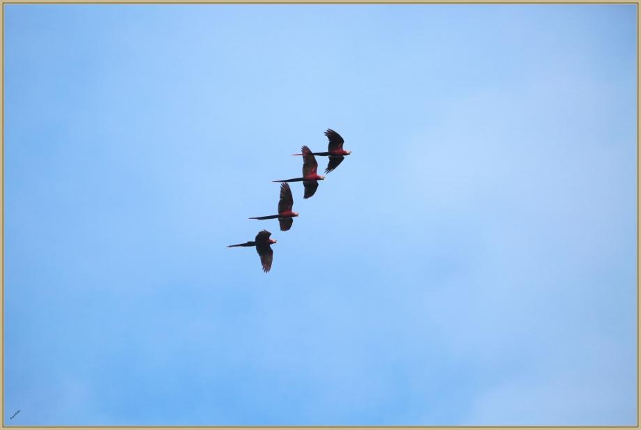UE8A2803 Ara rouge..jpg