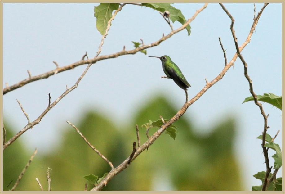 UE8A4149 Colibri tout vert.jpg