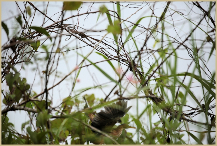 UE8A5457 Petit blongios.jpg