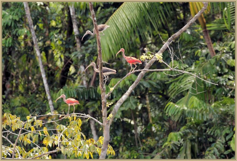 UE8A5598 Ibis rouge.jpg