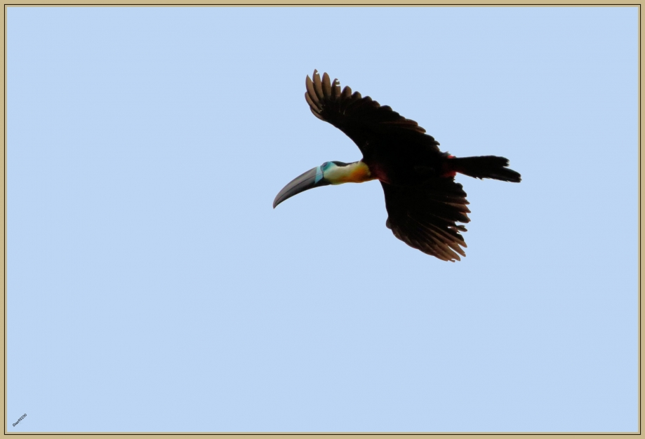 UE8A6476 Toucan ariel.jpg