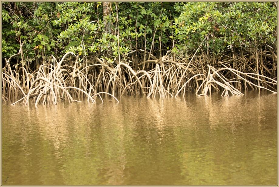 UE8A7514 mangrove.jpg