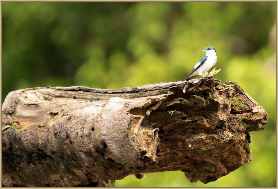 UE8A8960 Hirondelle à ailes blanches.jpg