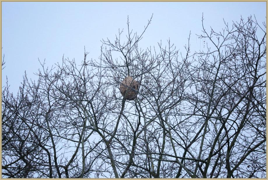 UE8A8601 nid de frelon asiatique.jpg