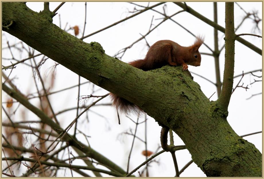 UE8A0167 écureuil roux.jpg