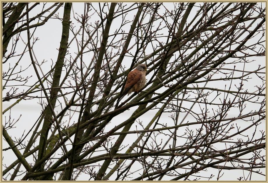 UE8A0210 faucon crecerelle.jpg