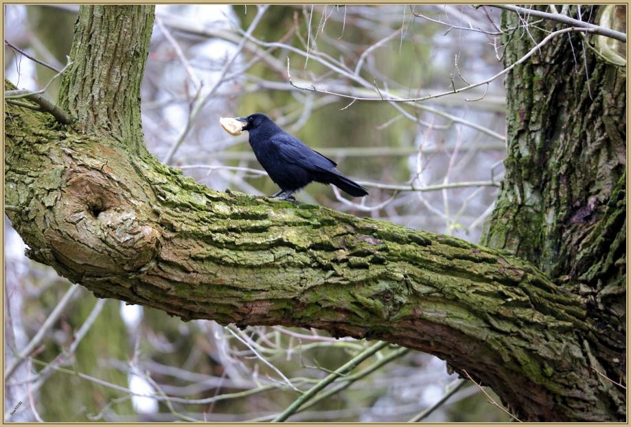 UE8A0113 Corneille noire.jpg