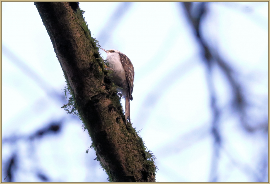 UE8A0734 Grimpereau des bois.jpg