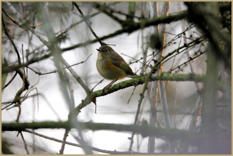 UE8A0571 Robin à flancs roux.jpg