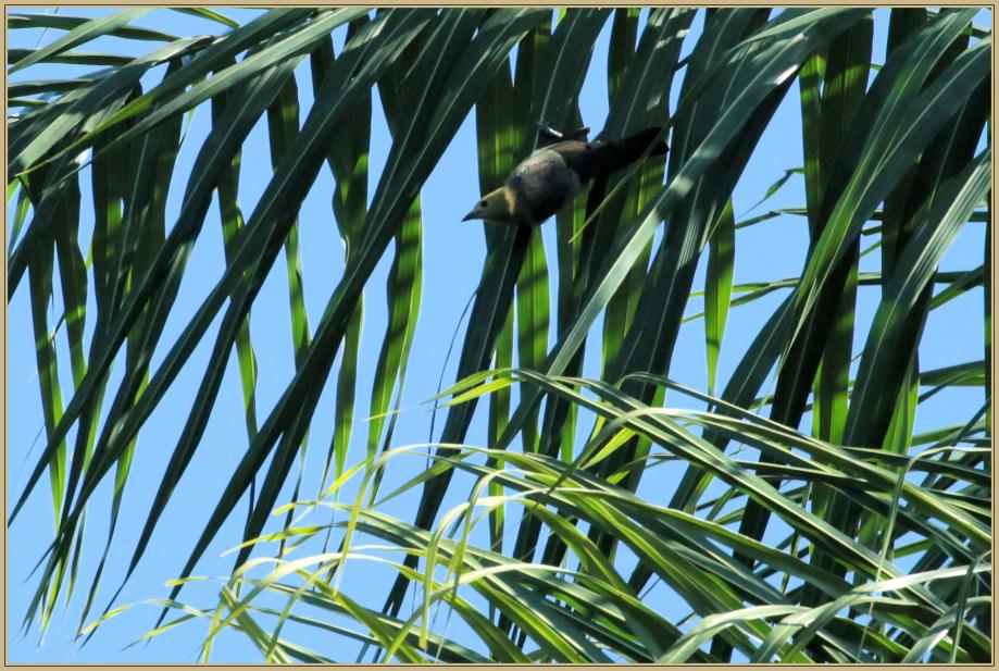 UE8A5790 Tangara des palmiers.jpg
