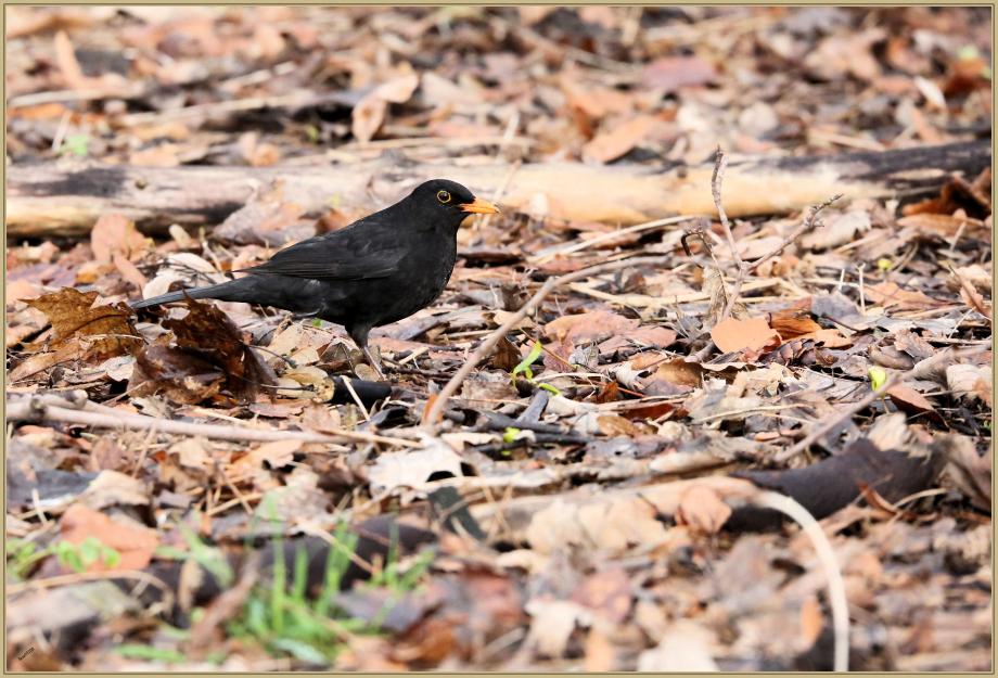 UE8A1219 merle noir.jpg