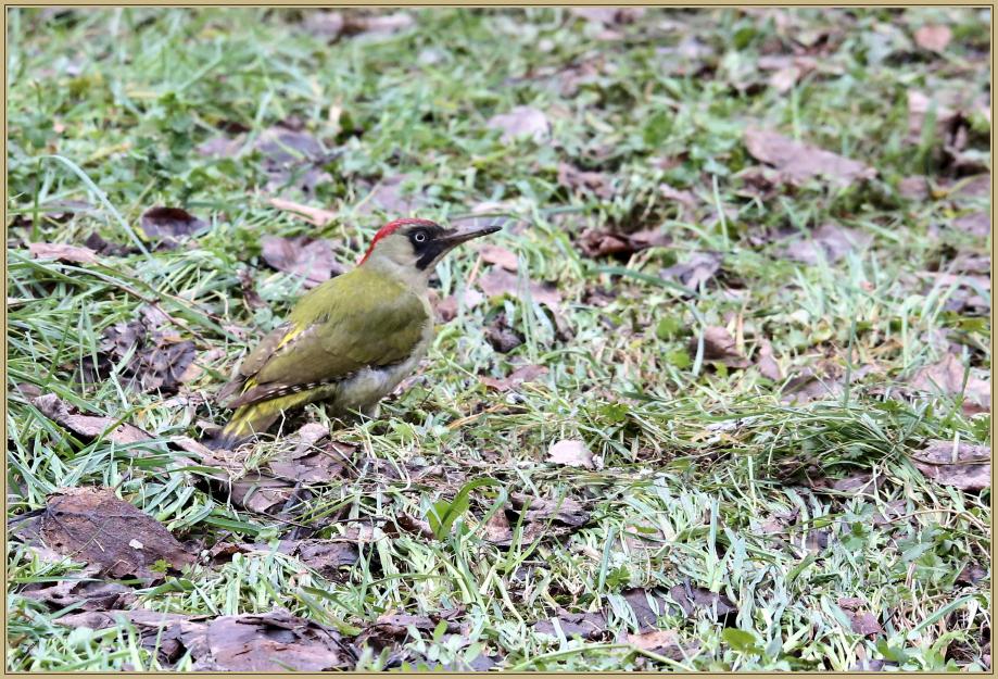 UE8A1595 Pic vert femelle.jpg